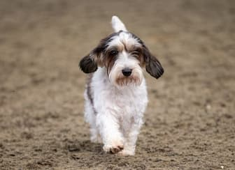 Grand Basset Griffon Vendeen Names for Male and Female Puppies