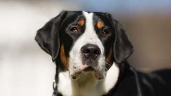 Greater Swiss Mountain Dog Names for Male and Female Puppies