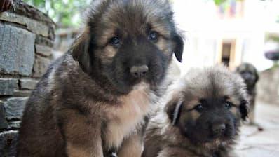 Male Caucasian Shepherd Dog Names