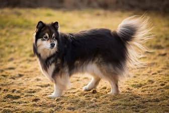Male Finnish Lapphund Names for Dogs