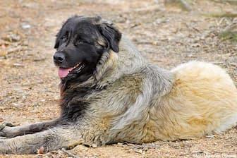 Unique Estrela Mountain Names for Dogs