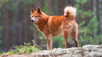 Unusual Finnish Spitz Names for Dogs