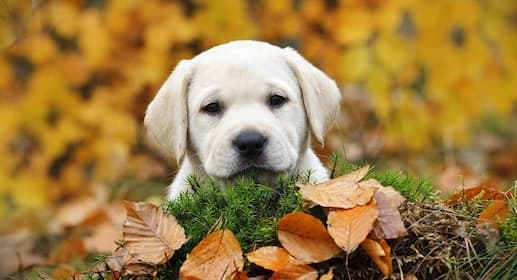 Yellow Lab Dog Names for Male and Female Puppies