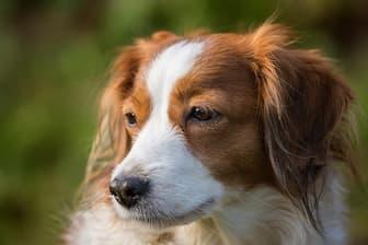Best Kooikerhondje Dog Names