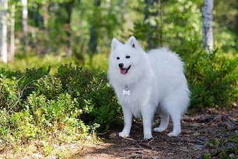 Cute Names for Japanese Spitz Puppies