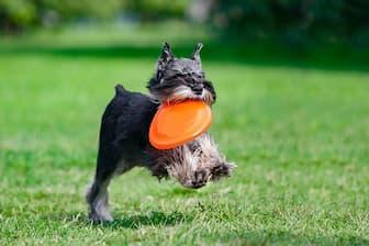 Dog Names for Female Miniature Schnauzer