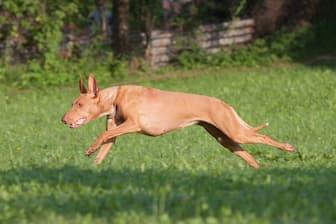 Egyptian Pharaoh Hound Names for Dogs