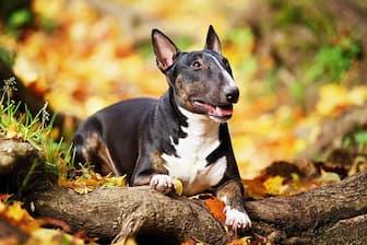 English Miniature Bull Terrier Names