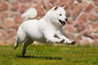 Female Hokkaido Japanese Names for Dogs