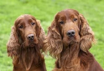 Female Irish Setter Names for Dogs