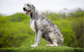 Female Irish Wolfhound Names for Dogs
