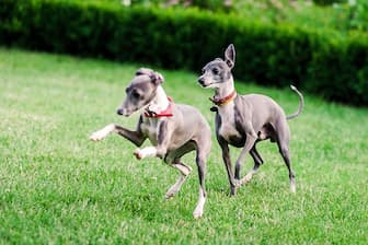 Female Italian Greyhound Names for Dogs