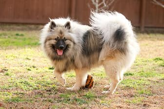 Female Keeshond Names for Dogs