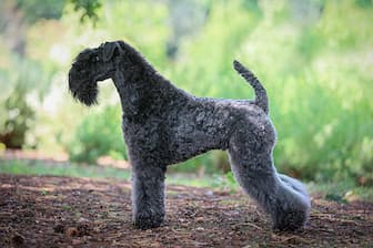 Female Kerry Blue Terrier Names for Dogs