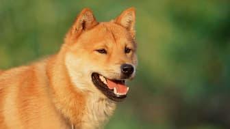 Female Korean Jindo Names for Dogs