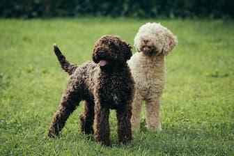 Female Lagotto Romagnolo Names for Dogs