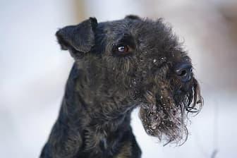 Female Lakeland Terrier Names for Dogs