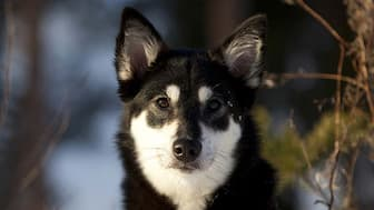 Female Lapponian Herder Names for Dogs