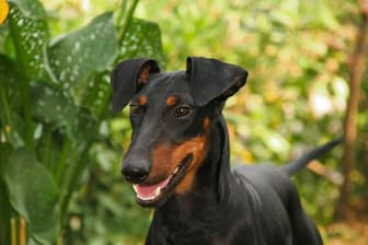 Female Manchester Terrier Names for Dogs
