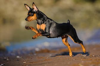 Female Miniature Pinscher Names for Dogs