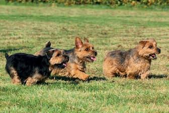 Female Norfolk Terrier Names for Dogs