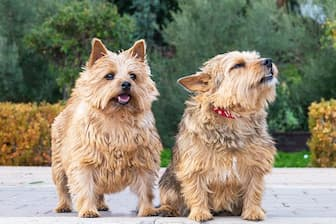 Female Norwich Terrier Names for Dogs