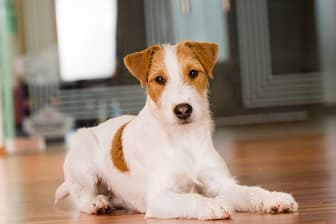 Female Parson Russell Terrier Names for Dogs