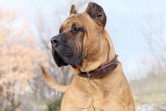Female Perro de Presa Canario Names for Dogs