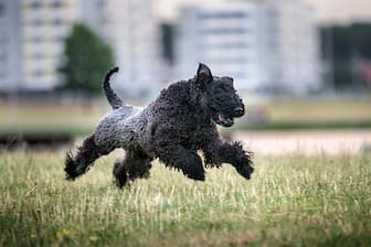 Good Names for a Kerry Blue Terrier