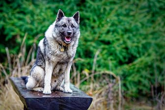Grey Norwegian Elkhound Names for Dogs