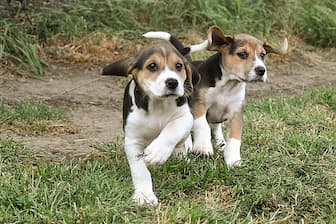 Harrier Dog Names for Male and Female Puppies
