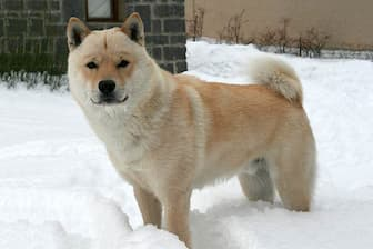 Hokkaido Dog Names for Male and Female Puppies