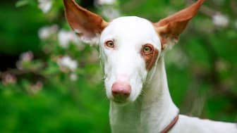 Ibizan Hound Dog Names for Male and Female Puppies