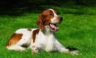 Irish Red and White Setter Dog Names for Male and Female Puppies