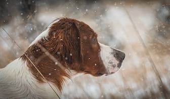Irish Red and White Setter Female Names for Dogs