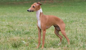 Italian Greyhound Dog Names for Male and Female Puppies