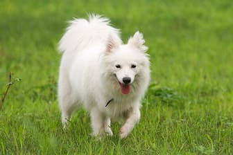 Japanese Spitz Dog Names for Male and Female Puppies