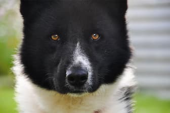 Karelian Bear Dog Names for Male and Female Puppies