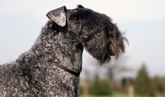 Kerry Blue Terrier Dog Names for Male and Female Puppies