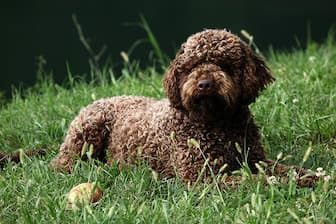 Lagotto Romagnolo Dog Names for Male and Female Puppies