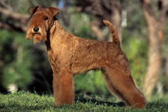 Lakeland Terrier Dog Names for Male and Female Puppies
