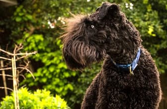 Male Kerry Blue Terrier Names for Dogs