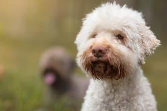 Male Lagotto Romagnolo Names for Dogs