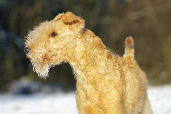 Male Lakeland Terrier Names for Dogs