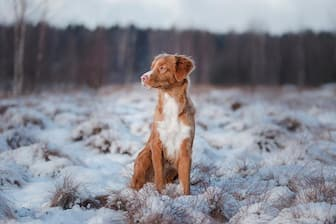 Male Nova Scotia Duck Tolling Retriever Names for Dogs