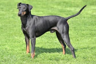 Manchester Terrier Dog Names for Male and Female Puppies