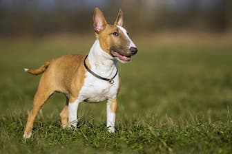 Miniature Bull Terrier Dog Names for Male and Female Puppies