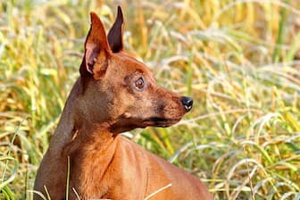 Miniature Pinscher Dog Names for Male and Female Puppies