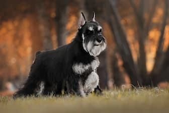 Miniature Schnauzer Dog Names for Male and Female Puppies