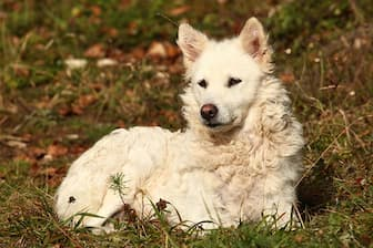 Mudi Dog Names for Male and Female Puppies